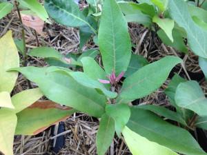 アカガシの新芽は花のつぼみのようです