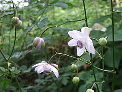 250px-Anemonopsis_macrophylla